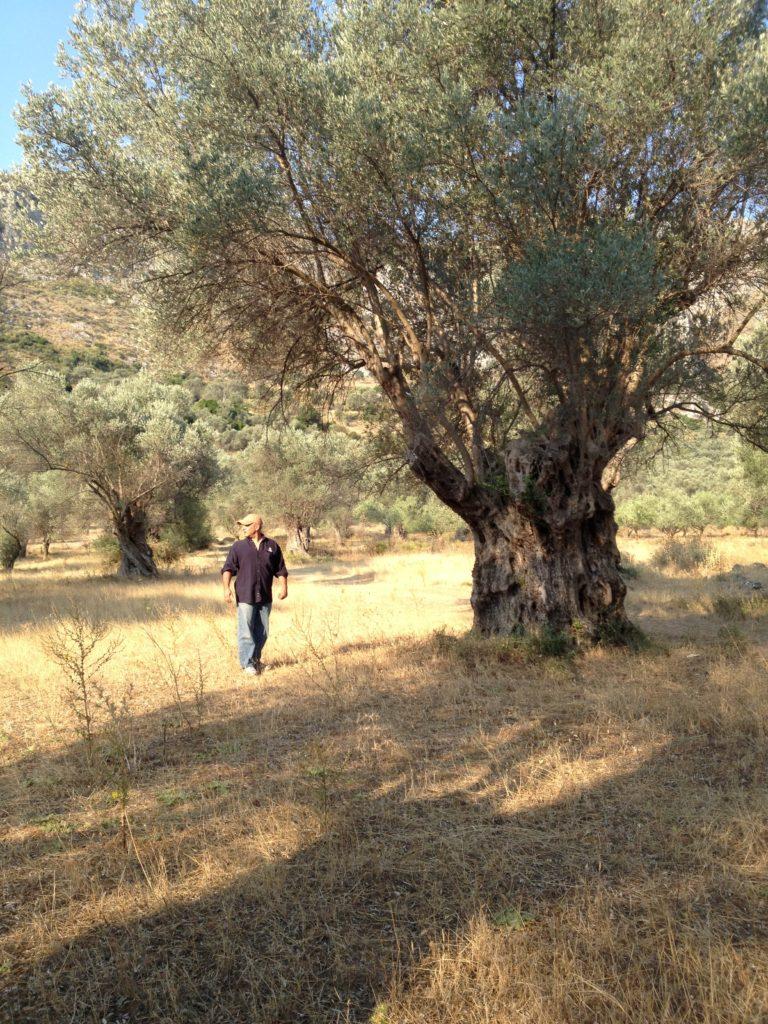 Man walking in a field of olive trees