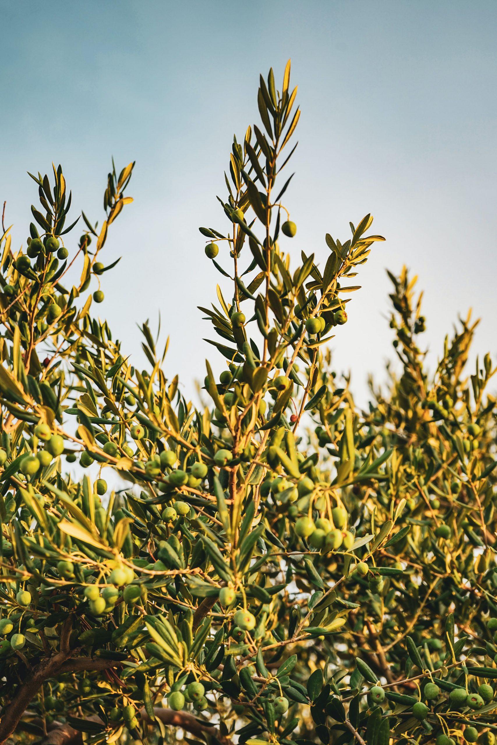 Olive trees at sunrise
